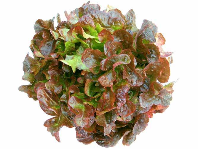 Дубовый салат бывает зеленых и красных оттенков
